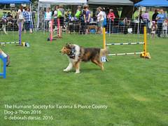 DAT2016_Agility_1173 (greytoes_99) Tags: agility cat dat2015 dat2016 event humanesocietytacoma people summer tacoma tacomahs volunteers dog humananimalbond lakewood wa us