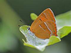 Sleedoornpage (diederickmeinen) Tags: vlinders