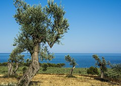Ulivi - Olive trees (Pablos55) Tags: ulivi mare vista olivetrees sea view