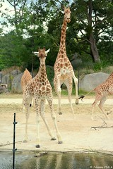 Girafe (Johanna Viala) Tags: girafe pzp parczoologiquedeparis zoodevincennes animaux