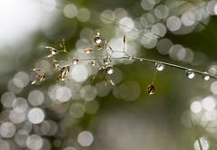 droplets on grass (marianna_a.) Tags: waterrain drop droplet wet grass seeds bokeh wednesday hbw newfoundland canada mariannaarmata