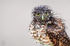Wet Owl (Megan Lorenz) Tags: owl burrowingowl bird avian birdofprey nature wildlife wild wildanimals florida 2013 mlorenz meganlorenz
