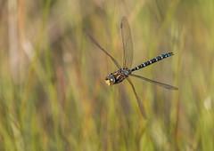 Male Common Hawker in Flight (steb1) Tags: aeshnajuncea commonhawker dragonfly dragonflyinflight dif odonata whixallmoss canon100400mmf4556lisii insect