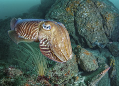 Seiche trs cooprative (penelope64) Tags: plonge dive mer sea manche saintcast lacatis olympusem5 fisheye panasonic8mmfisheye seiche