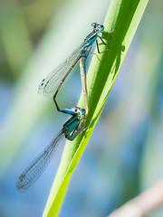 Damselfly mating wheel (phagileo) Tags: damselfly mating wheel sigma 105 nature nikon d3300 outdoor natur macro makro dragonfly insect germany