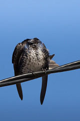 Golondrina Negra - Progne elegans - Southern Martin (Jorge Schlemmer) Tags: golondrinanegra progneelegans southernmartin miramar crdoba argentina birdwatcher