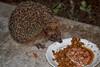 """""""Ben quoi, moi aussi j'ai faim"""" Riri le hérisson (jjcordier) Tags: hérisson manger piquant animal nocturne erinaceinae"""
