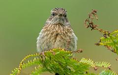 DSC3955  Stonechat.. (jefflack Wildlife&Nature) Tags: stonechat chats birds avian wildlife wildbirds wetlands countryside coastalbirds songbirds moorland meadows farmland nature