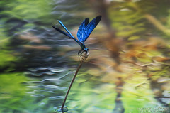 Blue Dragonfly,   (Aggelos Kastoris) Tags: dragonfly instect instects blue water colors river reflection trees flowers outdoor riverside green macro          nature nikon d7100 lens nikorr 70 210 greece thessaly