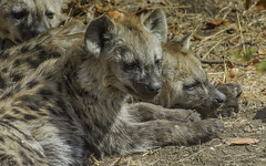 Down At The Den (philnewton928) Tags: spottedhyena hyena hyenacub hyenapup crocutacrocuta mammal animal animalplanet wild wildlife nature natural mopani kruger krugernationalpark krugerpark africa southafrica outdoor outdoors safari nikon nikond7200 d7200 predator