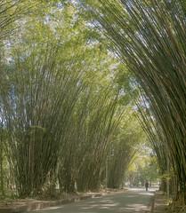 Tunel de Bambu (Serlunar (tks for 4.8 million views)) Tags: serlunar tunel de bambu bamboo tunnel foto flickr