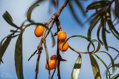 (klgfinn) Tags: autumn balga berry bokeh buckthorn landscape leaf seabuckthorn shore sky tree