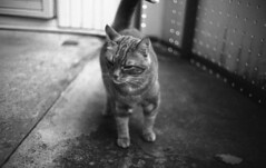 Bobby the cat (Nils Kristofer Gustafsson) Tags: blackandwhite bnw ishootfilm retro rollei 400s lomo lomography sweden rebro keepfilmalive filmisnotdead filmphotography film rodina adonal yashica electro cc 35mm