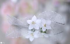 In dreams (Trayc99) Tags: beautyinmacro beautyinnature beautiful leaves flowers petals softbackground softness reflection delicate decorative depthoffield pastel texture floralart macro closeup romance