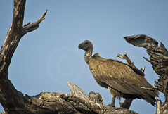 Cape vulture (Gyps coprotheres) (momathew) Tags: vulture carrion scavenger africa