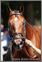 Practical Joke (Spruceton Spook) Tags: saratoga horses horseracing maidens practicaljoke