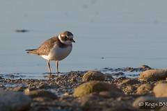 Un grand ... (Rgis B 31) Tags: charadriids charadriiformes charadriushiaticula commonringedplover grandgravelot arige bird domainedesoiseaux mazres oiseau