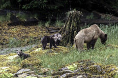 Grizzly Bear with three cubs (Alan Vernon.) Tags: brown bear coastal ursus arctos horribilis mature female sow mother young immature first year cub cubs grass sedge sedges eat eating nature wildlife wild mammal american bears omnivore predator shore