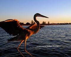 Poised to Fly (AngelaC2009***) Tags: 2016 winter february ruskin florida littleharbor sunset bird greatblueheron heron tampabay fujifilmfinepixs8200