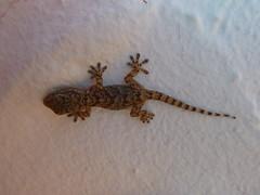 P1050855 (David Coombes A.K.A. Algy) Tags: menorca balearics binibequer vell nou bougainvillea gecko