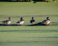 Wood Duck (shooter1229) Tags: heronpark wetlands woodduck nature bird outdoors bird20iocreplaceoldbirdlist avian animal aixsponsa anatidae