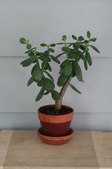 Crassula ovata (b) (Buhnuh) Tags: plant houseplant jade crassula ovata crassulatovata