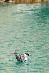 Skua (Matthijs Hollanders) Tags: oman nature bird jaeger jager skua