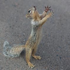 J77A1462 -- Please!! Give me some food!! (Nils Axel Braathen) Tags: ngc npc