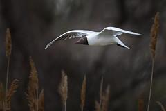 rdm-oiseaux-2.jpg (daniel rusinowicz) Tags: mouette mouetterieuse oiseaux