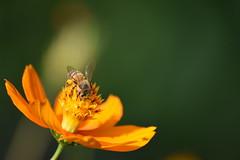 DSC_0436 (Kelson Souza) Tags: flor flores primavera flower flowers natureza beleza jardim jardinagem garden gardens colorido floricultura petalas ptalas florescer abelha abelhas bee bees