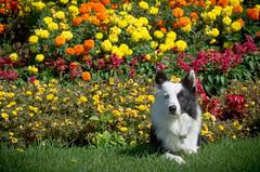 Flower Garden (Rainfire Photography) Tags: bandit bordercollie dog rainfirephotography heterochromia splitface garden flowers park portrait