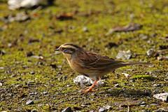 Siberian Accentor (Chris B@rlow) Tags: prunellamontanella accentor siberianaccentor easington humberside bird birds britishbirds wildlife nature canon7d sigma sigma150600