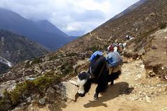 Schwerbeladen (Alfesto) Tags: nepal trekking wanderung himalaya namche khumbuarea sagarmathanationalpark tengboche phortse phorche