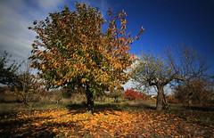 Otoal.... (Garciamartn) Tags: otoo hojas paisaje rustico rural cerezo santamaradevalverde zamora castillalen espaa nino garciamartn naturaleza