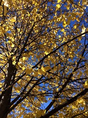 gold and blue (Lady Goshen) Tags: autumn foliage color leaves harvest fall tree tres gold yellow orange red blue branches clear sky