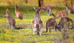 The local wildlife, Mother with her Joey (westernaustraliabymarcrusso) Tags: roo kangaroo joey cute mob outback bush western australia