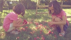 Apples picking party (ajka) Tags: apples latesummer indiansummer autumn fall seasonal tree fruits garden green sunshine sunshinyday happy family happiness