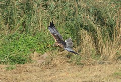 Marsh Harrier (andyt1701) Tags: jersey