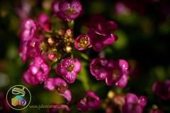 Alyssum pink drops (Julies Camera) Tags: raindrops waterdrops flowers kowhai rosemary capedaisy poppy ferns buddleia daisy cobweb calendular alyssum abutilon marco droplets cobwebs quakinggrass onionweed