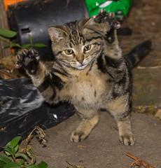 Four paw drive (ArtGordon1) Tags: death cat feline mouse thekill nature davegordon davidgordon daveartgordon davidagordon daveagordon artgordon1 london england uk walthamstow