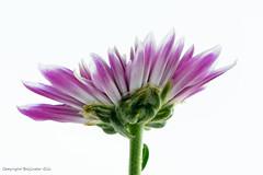 Flower (Baljinder.Gill) Tags: flowers flowerphotography flowerpetals macro macroflower macronature macrophotography nikon nature naturephotography naturemacro