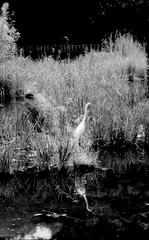 (tokyo heron 1) (Dinasty_Oomae) Tags: leica leicaiiia leica3a  iiia 3a   blackandwhite blackwhite monochrome bw outdoor  tokyo  chiyodaku   heron