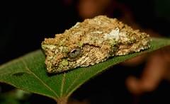 Bark/Moss Mimic Frog (Kurixalus sp., Rhacophoridae) (John Horstman (itchydogimages, SINOBUG)) Tags: china yunnan itchydogimages frog amphibian rhacophoridae topf25 herpetology topf50