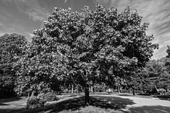 Ye Old Maple (brev99) Tags: tree maple blackandwhite perfecteffects10 ononesoftware atx124afprodx tokina1224dxii d90