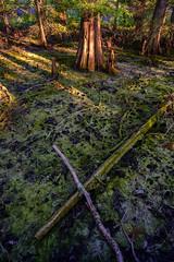Exposed X (David Guidas) Tags: fujifilm xpro2 trees nature fujinon xf14mm cypress dawes arboretum color