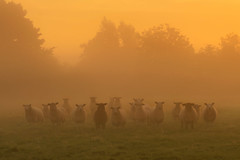 Sheep in the mist (explored) (Alan10eden) Tags: sheep morning mist dawn light golden daybreak sunrise farm farmer ovine animals livestock ewe lamb suffolk texel silhouette field ulster alanhopps northernireland markethill countyarmagh canon 80d sigma 1770mm fog early autumn tupping flock