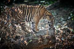 Panthera tigris (rondoudou87) Tags: tigre tiger sumatrantiger nature wild wildlife parc zoo reynou pentax k1