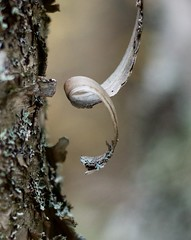 DSC_9798 (devoutly_evasive) Tags: minnesota mn grandportage statepark autumn fall usa birch birchbark curl twirl coil peel peeling tree trunk bokeh lichen moss green forest