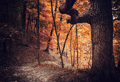 Forest of Fire (Anthonypresley1) Tags: illinois forest woods nature landscape tree trees leaf leaves hill red orange autumn anthony presley anthonypresley chicago old retro vintage