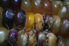 corn (vaporeonjolteon) Tags: corn rotten bad nasty old creature eaten macro minolta md canon 5d pattern indian